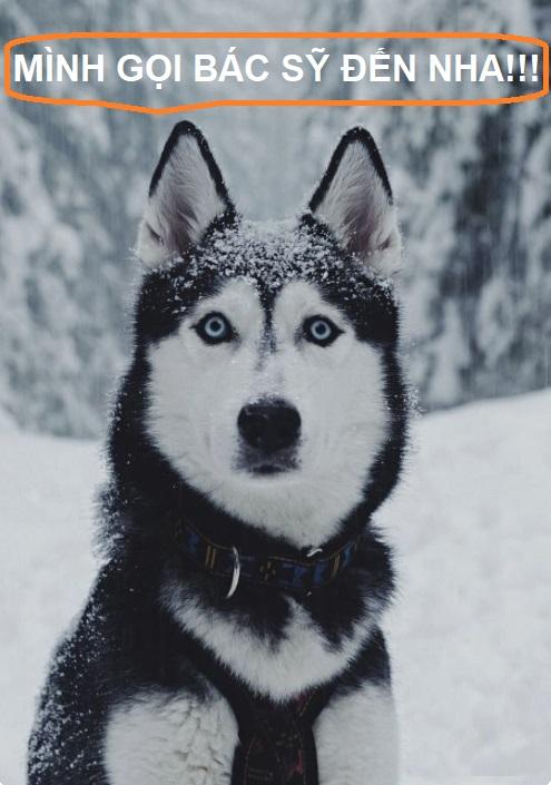 tiêm phòng cho chó Husky