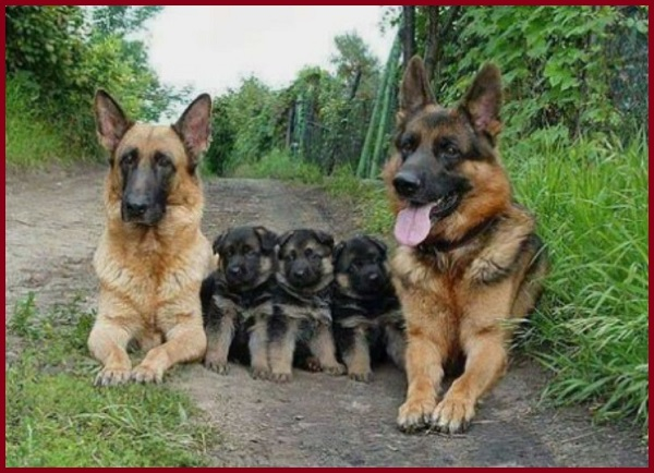 Chích ngừa chó becgie con