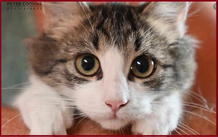 Chích ngừa thai cho mèo