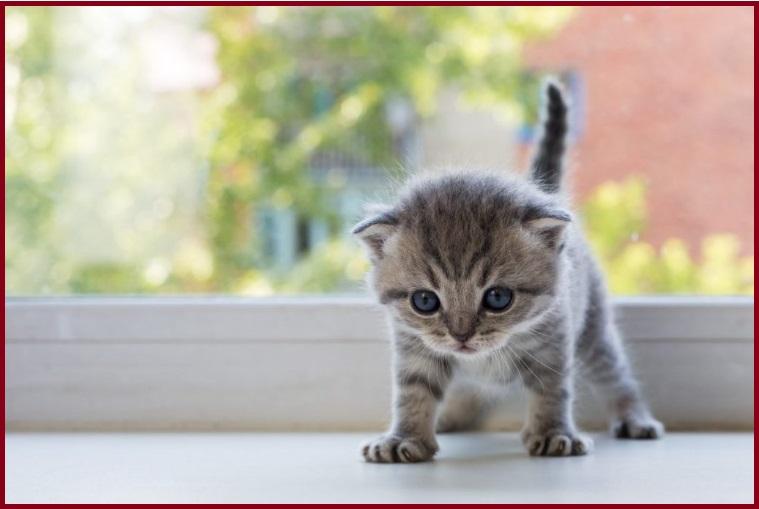 chích ngừa cho mèo con