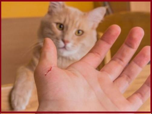 mèo cào có cần chích ngừa không