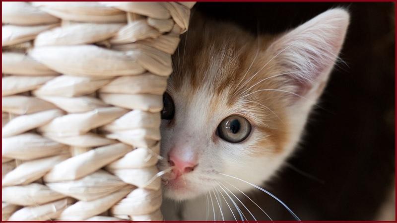 chích ngừa dại cho mèo có tâm lý hoảng sợ